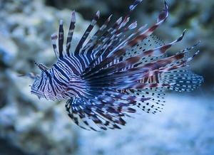 Foto de um peixe-leão de coloração azulada com várias listras ao longo do corpo.