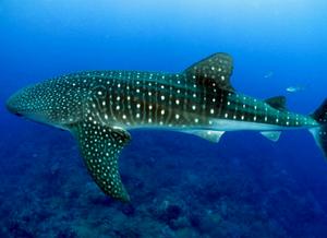 Foto lateral de um tubarão baleia. Nela avistamos as típicas marcas longitudinais e em pontos em branco ao longo do corpo do animal.