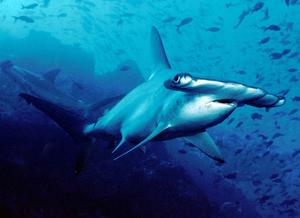 Imagem de um tubarão martelo no fundo do oceano rodeado de vários peixes.