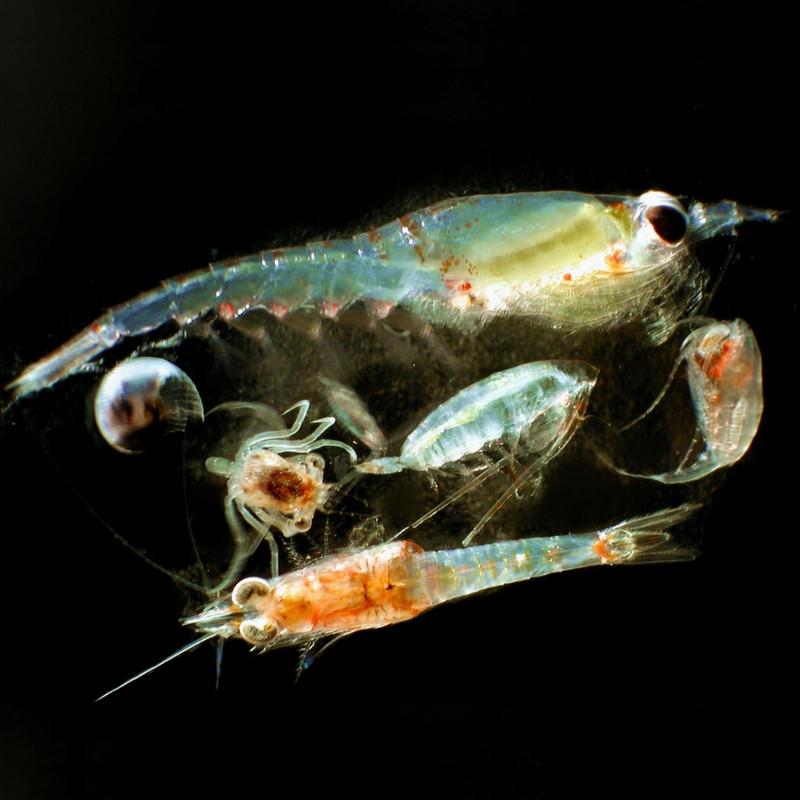 A imagem mostra sete crustáceos com certo grau de transparência em um fundo preto.
