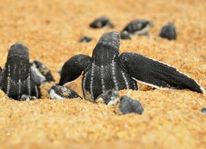 Foto mostrando filhotes de tartaruga de couro saindo da areia. Eles tem uma coloração preto acinzentado com listras cinzas no casco e a areia está com uma coloração laranja.