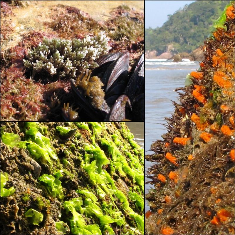 Imagem composta por três outras imagens mostrando a diversidade de organismos que há no costão rochoso.