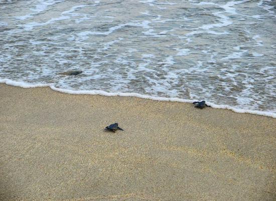 A foto mostra três tartarugas filhotes indo em direção ao mar. Uma ainda está na areia, a outra está com metade do corpo na areia e a outra metade na água e a terceira está dentro da água.
