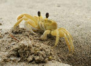 Foto de um caranguejo com coloração amarela na praia.