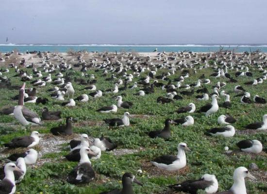 Foto com vários albatrozes nidificando em uma área costeira, alguns estão sobre a vegetação e outros sobre a areia. Ao fundo da imagem vemos o mar.