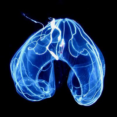 Ctenofora com formato de um arco com coloração azul bioluminescente em um fundo preto.