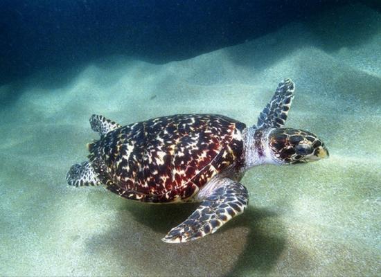 A foto mostra uma tartaruga de pente com uma coloração de casco vermelha e preta. Ela está nadando e no fundo vemos o substrato de areia.