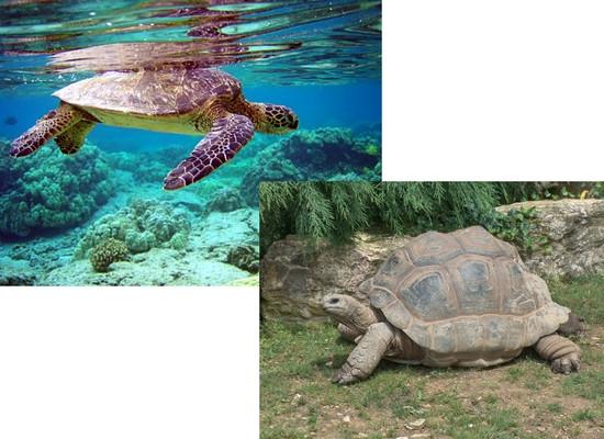 Montagem de duas fotos. A foto superior esquerda há uma tartaruga verde submersa em uma água cristalina e que ao fundo podemos ver alguns recifes de corais. A foto inferior direita temos uma tartaruga terrestre de coloração marrom acinzentada.