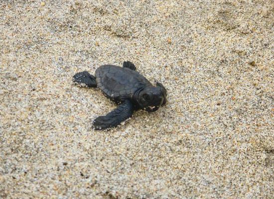 A foto mostra um filhotes de tartaruga com coloração preta em um substrato de areia.