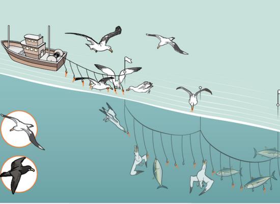 Na ilustração há uma ambercação com uma rede de espinhel e vários albatrozes sendo fisgados pelos anzóis.