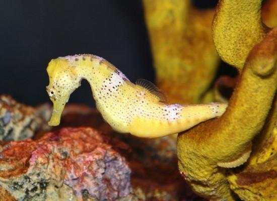 Foto de um cavalo marinho de coloração amarela preso pela cauda preênsil em um recife de coral.