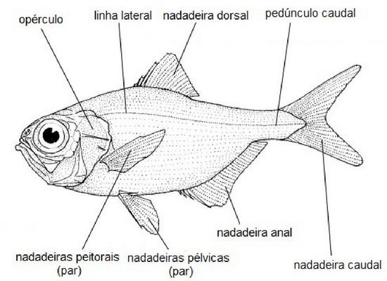 Ilustração da vista lateral de um peixe. Nesse desenho há indicações de estruturas como o opérculo, linha lateral, nadadeiras dorsal, caudal, peitorais, pélvicas e anal e pedúnculo caudal.