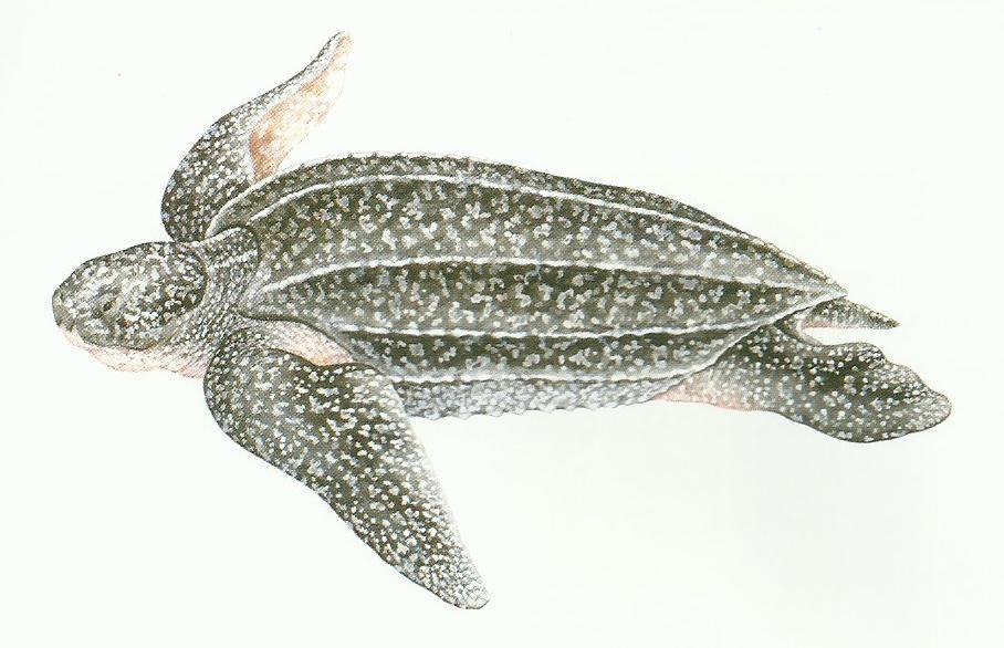 Desenho de uma tartaruga de couro mostrando as quilhas que formam o seu casco.