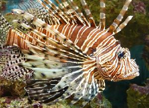 Imagem de um peixe-leão de coloração laranja-amarronzada com várias listras ao longo do corpo.