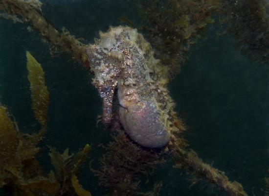 Foto de um cavalo marinho de coloração roxa grávido, podemos perceber o seu abdome inchado.