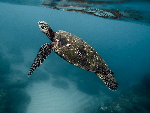 Tartarugas marinhas: quantas espécies existem?