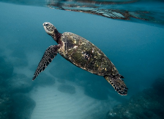 Imagem de uma tartaruga marinha submersa indo em direção a superfície da água.