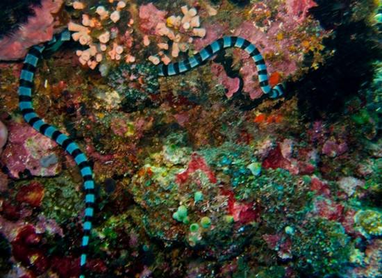 Foto de uma serpente marinha com listras azuis e preta ao longo de todo o corpo. Ela está nadando em meio a um recife de coral.