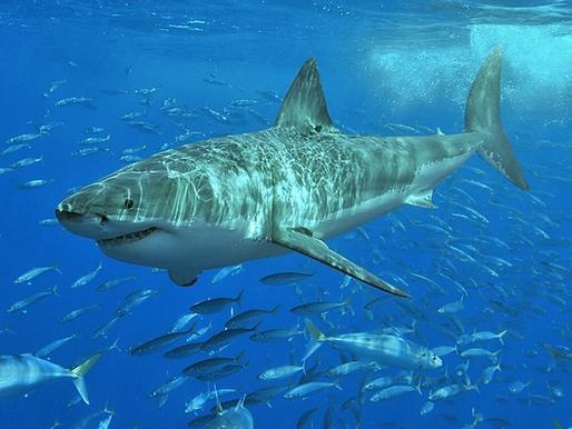 Existe diferença entre cação e tubarão?