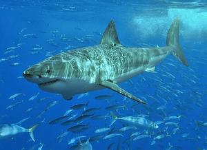 Imagem de um tubarão branco debaixo d'água rodeado de outros peixes.