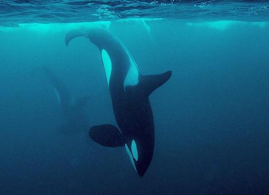 Imagem de uma orca mergulhando em direção ao fundo do mar.