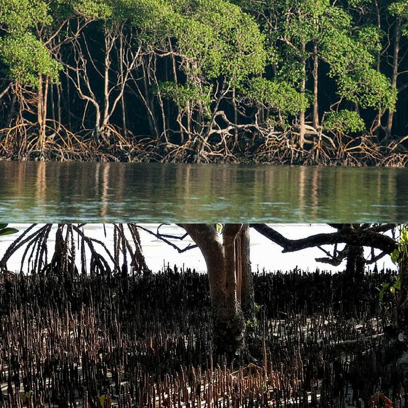 Montagem de duas fotos do manguezal. Acima vemos o mangue e uma parte da água e abaixo vemos os pneumatóforos de mangue-preto.