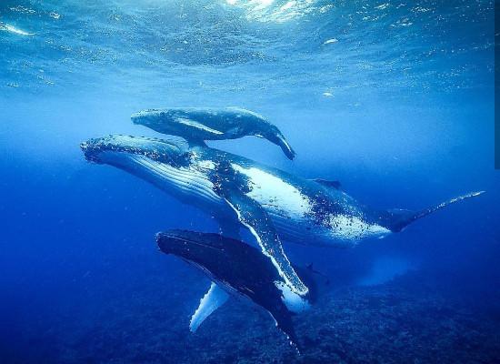Três baleias-jubarte nadando, sendo que a do meio é a maior delas e a de cima provavelmente um filhote.