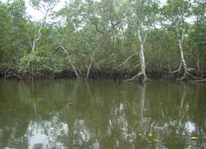 Foto de um manguezal, com algumas árvores ao fundo com suas raízes típicas desse ecossistema.