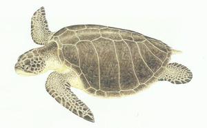Desenho de uma tartaruga oliva com coloração amarronzada, casco com 8 placas laterais.