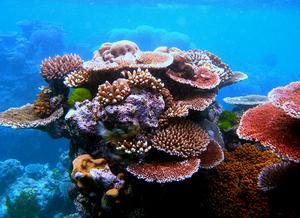 Imagem mostrando uma parte da Grande Barreira de Corais da Austrália. Podemos ver vários organismos avermelhados e alaranjados fixados no substrato.