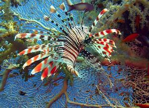 Imagem de um peixe-leão vista de cima, mostrando os seus espinhos e a sua coloração branca, laranja e preta.