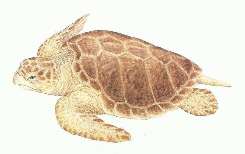 Desenho de uma tartaruga cabeçuda de coloração amarronzada, casco com cinco placas laterais.
