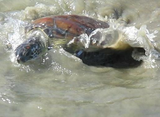 O desafio da sobrevivência das tartarugas marinhas