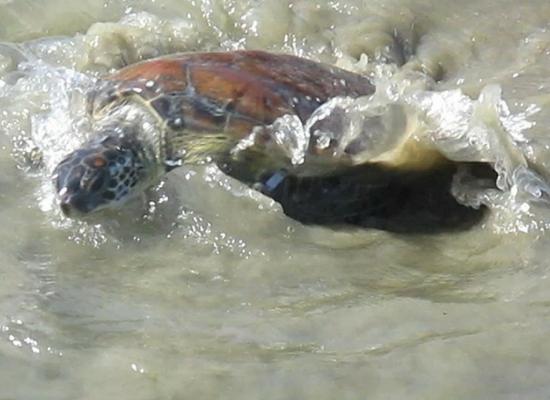 Foto de uma tartaruga verde nadando no oceano. Na foto vemos a cabeçam, parte do casco e a nadadeira esquerda com uma anilha. A água do oceano está com uma coloração marrom acinzentado.