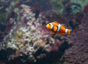 Foto de um peixe-palhaço com coloração alaranjada com três listras brancas, uma próximo a cabeça, outra no meio do corpo e outra entre o corpo e a nadadeira caudal. Ao fundo podemos ver corais.