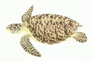 Desenho de uma tartaruga de pente com coloração amarronzada, casco com 5 placas laterais de forma imbricada.