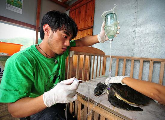 Foto de uma pessoa de camiseta verde e com uma luva segurando uma bolsa de soro que está nutrindo uma tartaruga marinha. Essa tartaruga se encontra em cima de uma mesa de madeira.