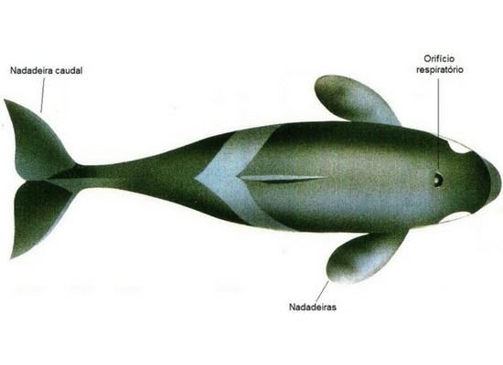 Ilustração da vista de cima de um cetáceo, onde podemos ver seu corpo fusiforme, algém do orifício respiratório acima da cabeça e as nadadeiras.