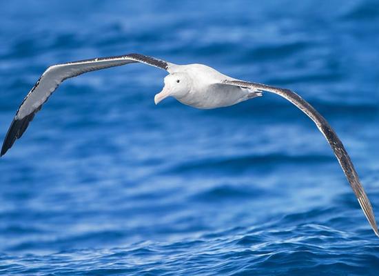 Foto de um albatroz logo acima da superfície do mar. O seu corpo todo branco com as duas asas abertas um pouco curvadas no sentido vertical. As asas possuem uma coloração branco e cinza.