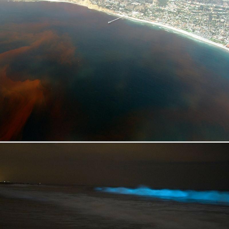 Montagem de duas fotos. Na de cima vemos no canto superior direito uma cidade litorânea. No oceano vemos uma mancha avermelhada indicando a maré vermelha. Na imagem debaixo, mostra a praia a noite e uma onda bioluminescente devido a presença de organismos dinoflagelados com essa habilidade.