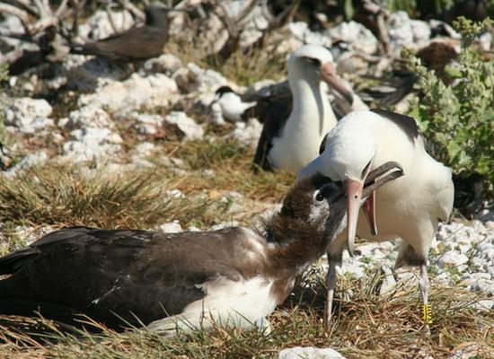 Na imagem há dois albatrozes na frente e dois no fundo. Os dois da frente estão em contato através do bico, sendo que um está alimentando o outro.