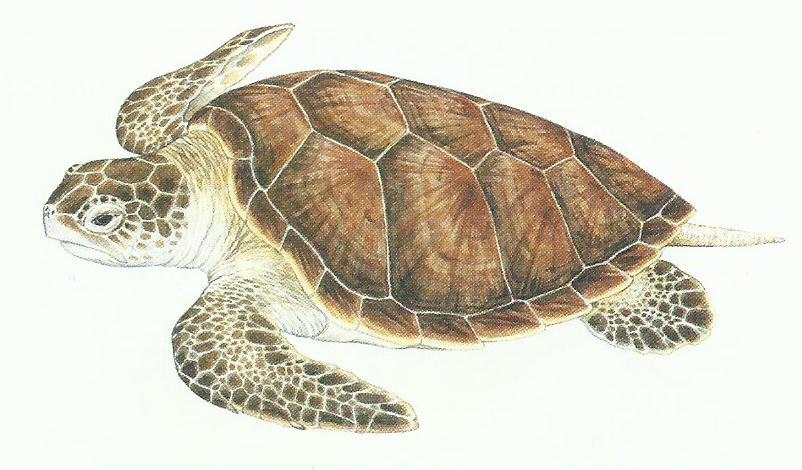 Desenho de uma tartaruga verde com a coloração amarronzada, casco com 4 placas laterais.