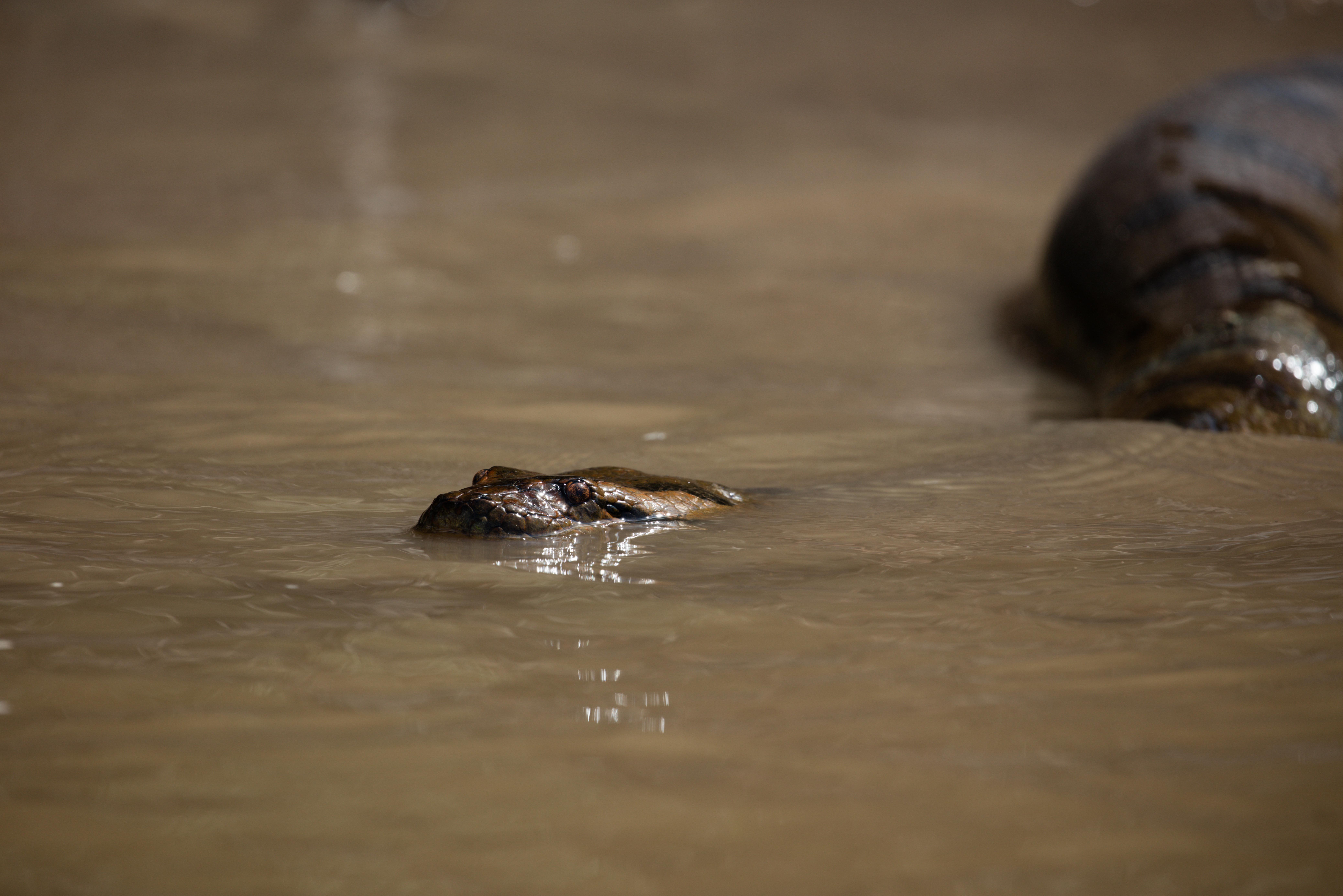 A giant Green Anaconda swims toward a to