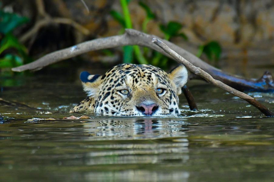 Pantanal's Jaguar .jpg