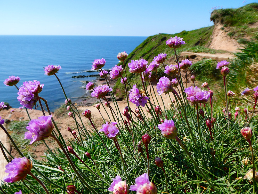 Thrift flowers, St Bees Head