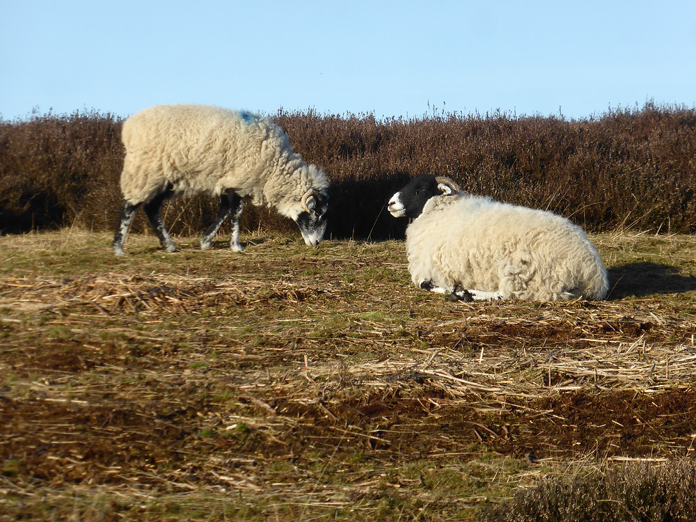 Grazing sheep, Hole of Horcum, North York Moors National Park