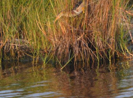 St. Marks National Wildlife Refuge (St. Marks, FL)