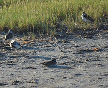 Wilson's Plovers at Fort Desoto.JPG