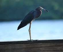 Little Blue Heron at Ding Darling NWR.JP