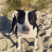 Age and breed impact how dogs visually communicate